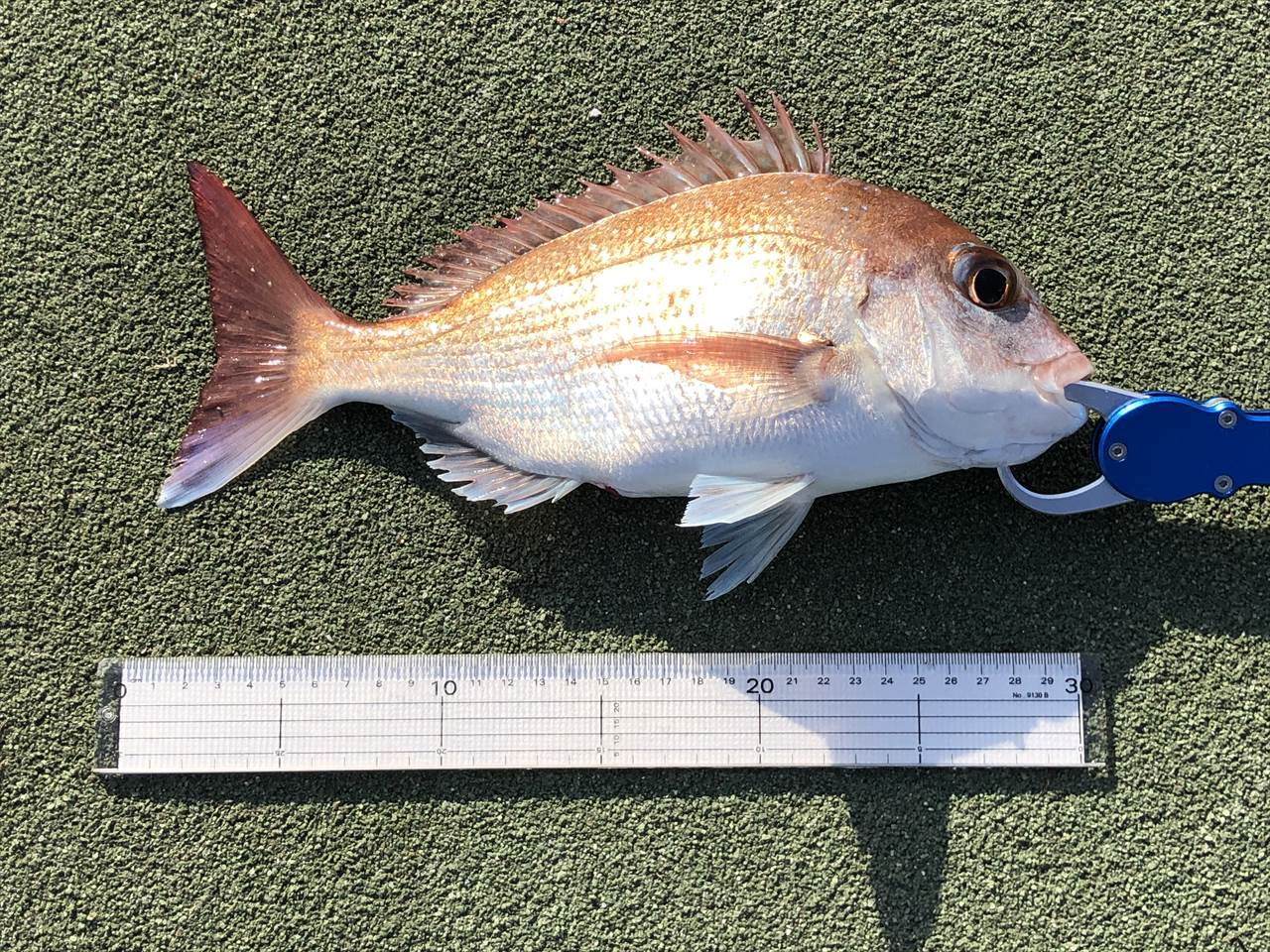 真鯛 サビキ アミエビ