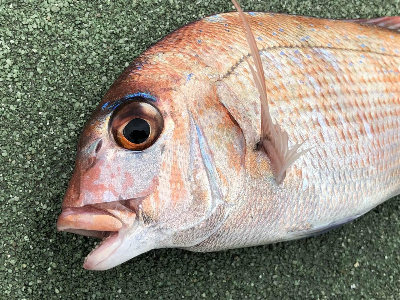 真鯛 サビキ イワシ
