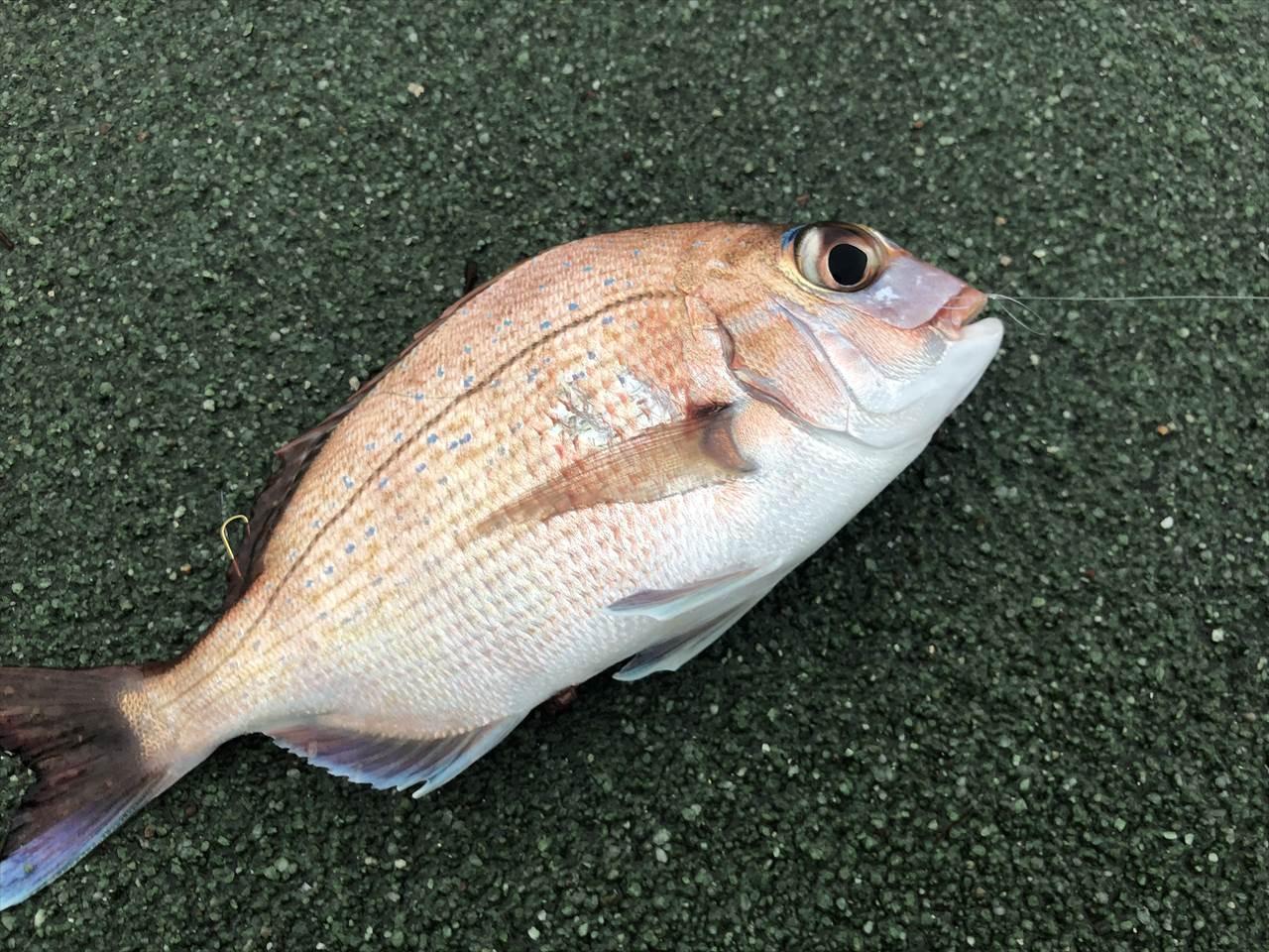 真鯛 パニックサビキ
