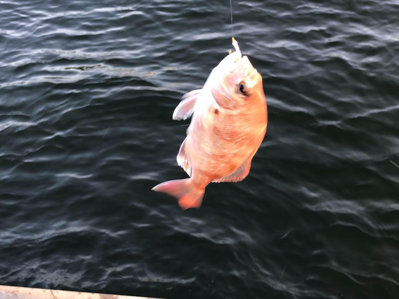 真鯛 サビキ