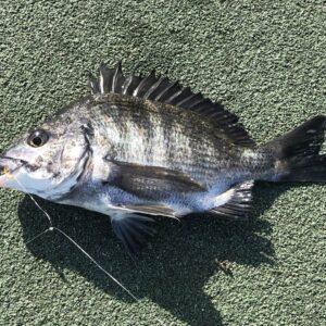 黒鯛 チヌ サビキ
